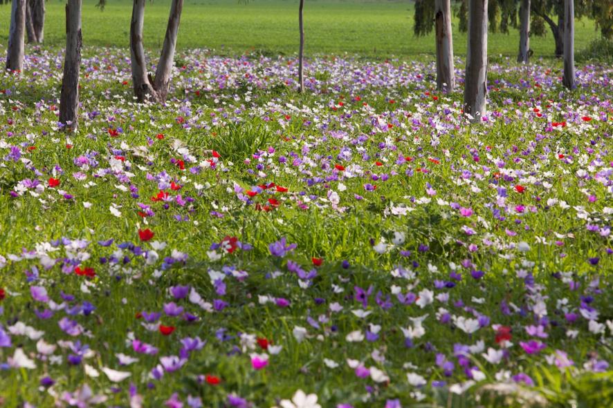 El festival Darom Adom celebra la llegada de las flores al desierto de Negev